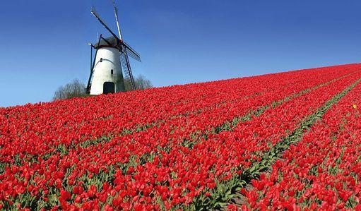 tulipany-03